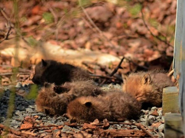 Father And Daughter Find Baby Foxes In Their Backyard_10