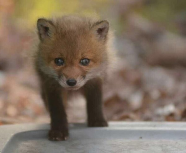 Father And Daughter Find Baby Foxes In Their Backyard_12