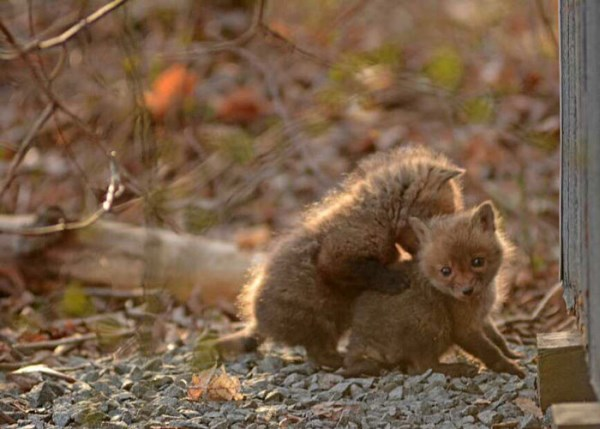 Father And Daughter Find Baby Foxes In Their Backyard_13