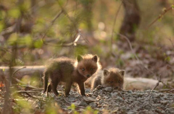 Father And Daughter Find Baby Foxes In Their Backyard_14