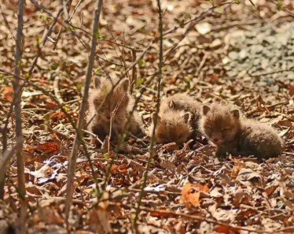 Father And Daughter Find Baby Foxes In Their Backyard_2