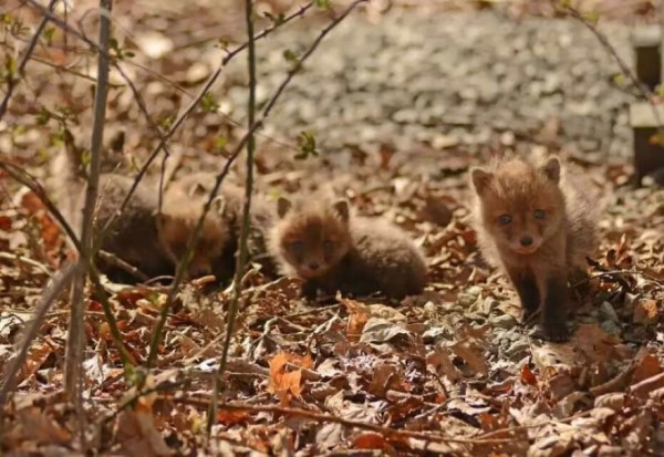 Father And Daughter Find Baby Foxes In Their Backyard_4