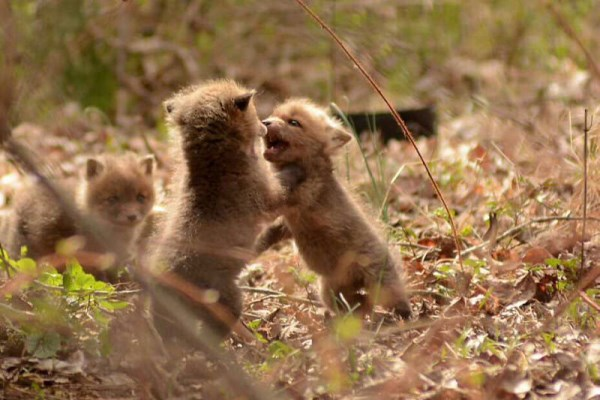 Father And Daughter Find Baby Foxes In Their Backyard_5