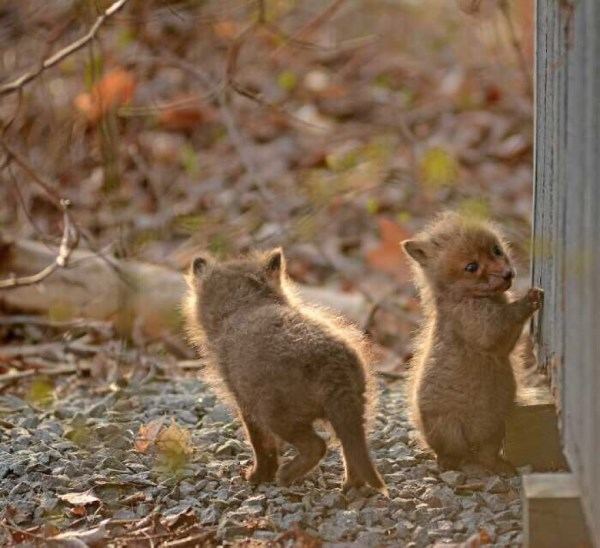 Father And Daughter Find Baby Foxes In Their Backyard_6