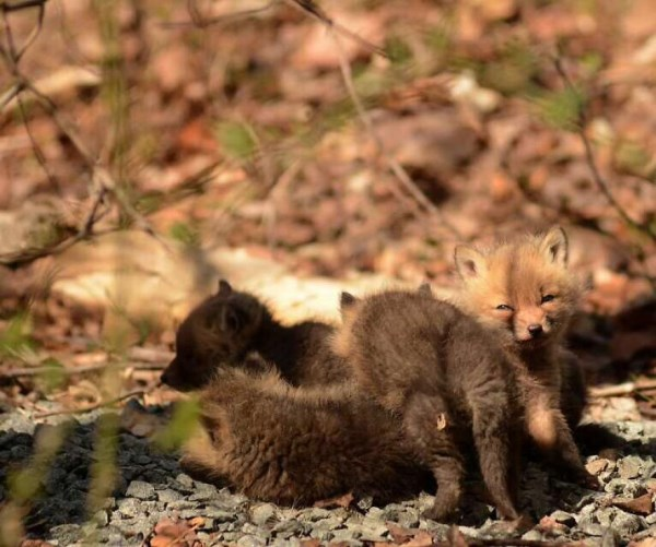 Father And Daughter Find Baby Foxes In Their Backyard_7