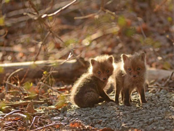 Father And Daughter Find Baby Foxes In Their Backyard_9