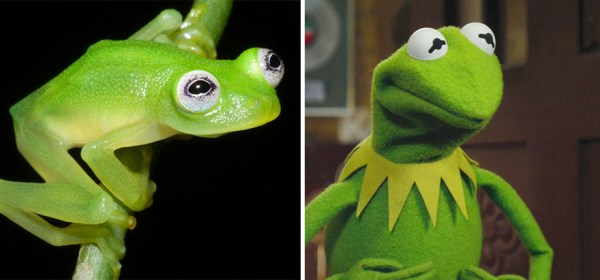 Real-Life Kermit The Frog In Costa Rica