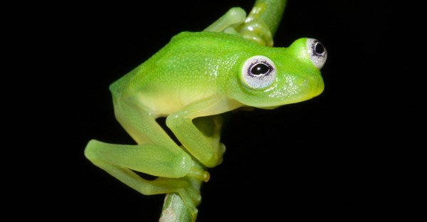 Real-Life Kermit The Frog In Costa Rica_3
